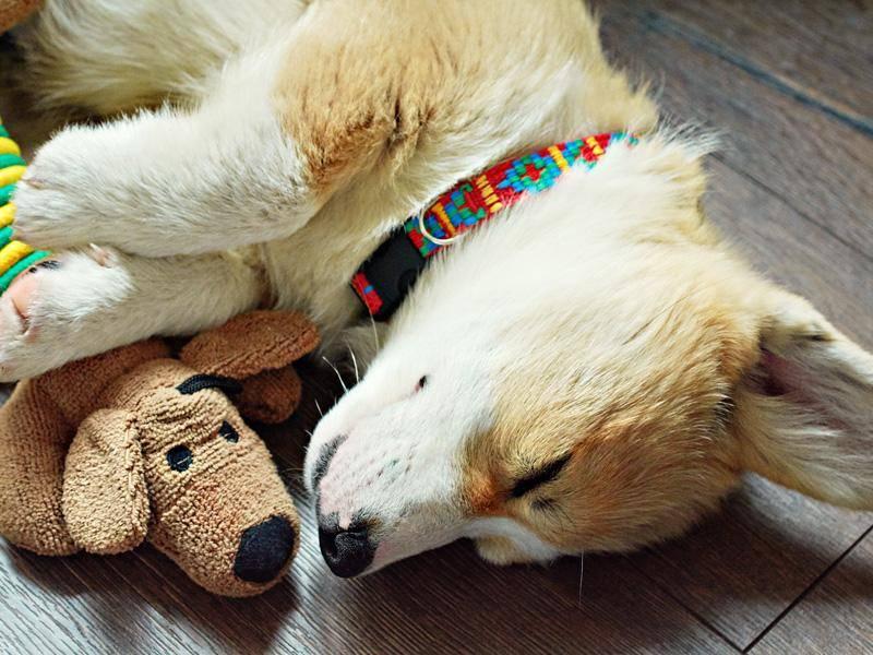 Corgi-schläft-Shutterstock-IrenKo