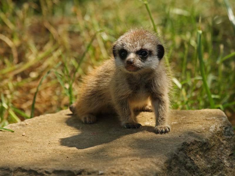 Gibt es etwas Süßeres als ein Erdmännchen-Baby? Wohl kaum! - Bild: Shutterstock /M Rose