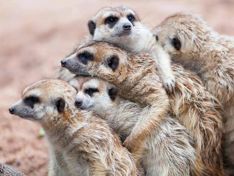 Kuscheln ist ganz wichtig für Erdmännchen! – Bild: Shutterstock / nattanan726
