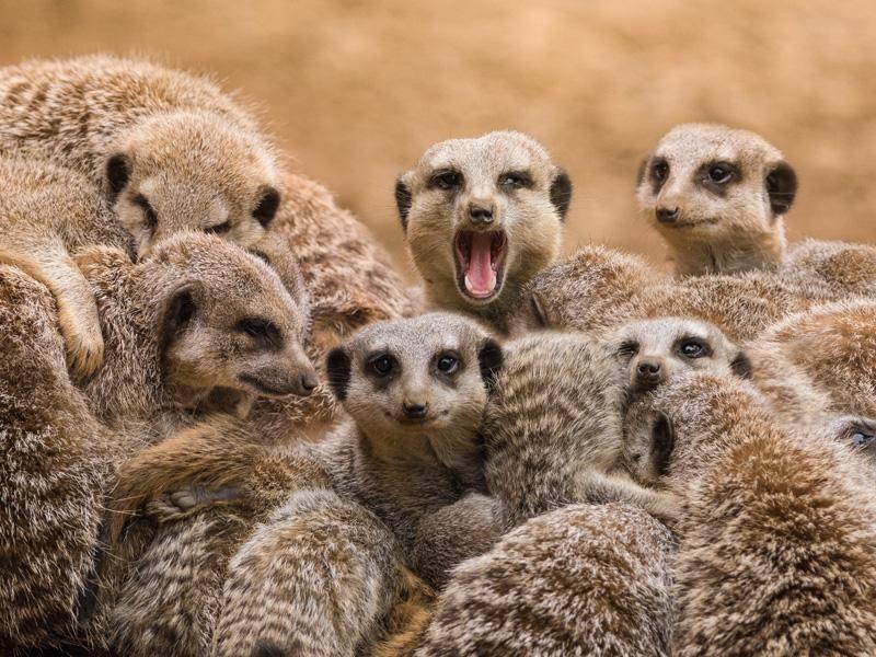 Je mehr Erdmännchen sich beim Kuscheln beteiligen, desto besser... – Bild: Shutterstock / stefbennett