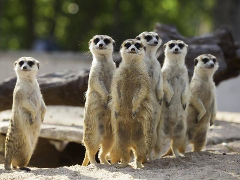 """""""Huhu!"""", scheinen diese sechs Erdmännchen sagen zu wollen - Bild: Shutterstock / nattanan726"""