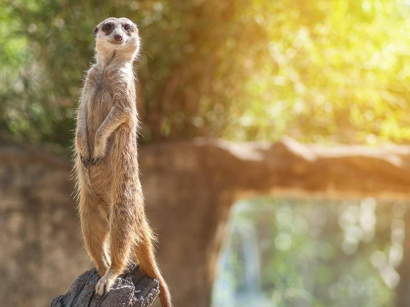 Erdmännchen sind seeehr neugierig... – Bild: Shutterstock / NWStock