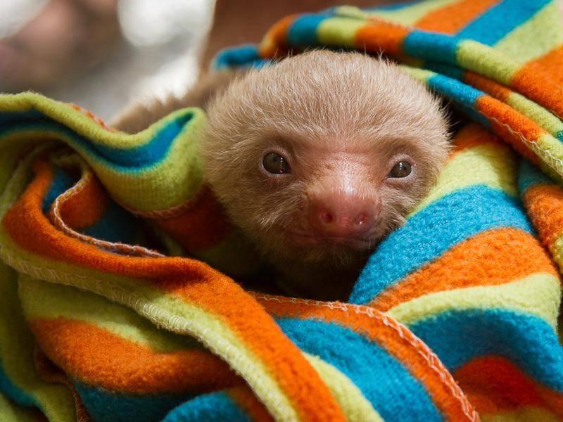 Noch ganz ganz klein ist dieses Baby-Faultier und muss deshalb in eine warme Decke eingewickelt werden – Bild: Shutterstock / Paul Strehlenert