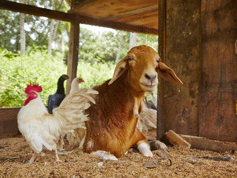 """""""Bei Freundschaft kommt es nun wirklich nicht auf die Körpergröße an"""", finden auch diese Ziege und der Hahn – Bild: Shutterstock / Jaromir Chalabala"""