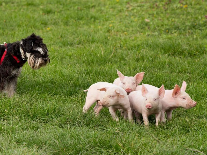 Und dieser Hund hütet kleine Schweinchen wie seinen Augapfel - Bild: Shutterstock / Budimir Jevtic