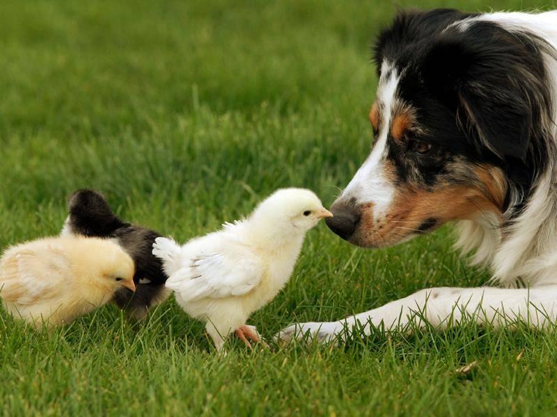 Großer Hund, winzig kleine Küken: Wie süß! – Bild: Shutterstock / Tracey Helmboldt