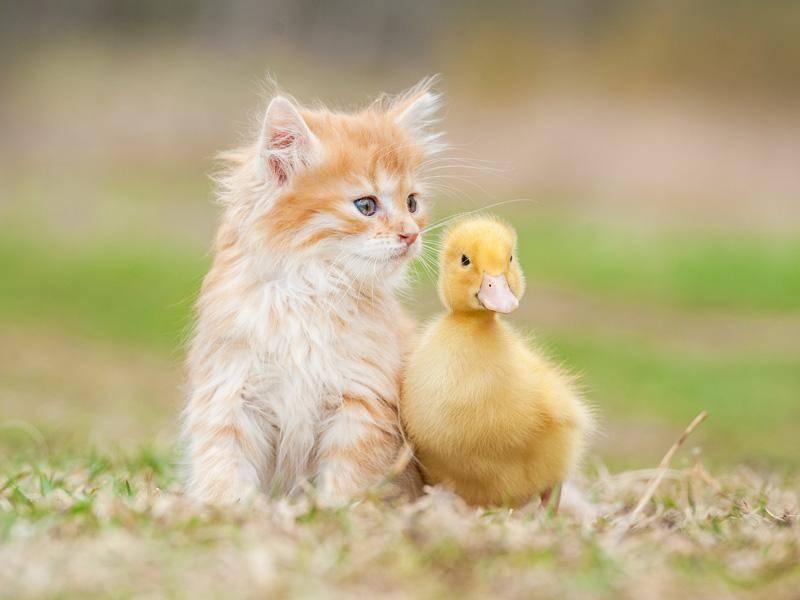 Ganz vorsichtig schmust die süße Katze mit einem kleinen Entlein. Herzallerliebst! – Bild: Shutterstock / Grigorita Ko