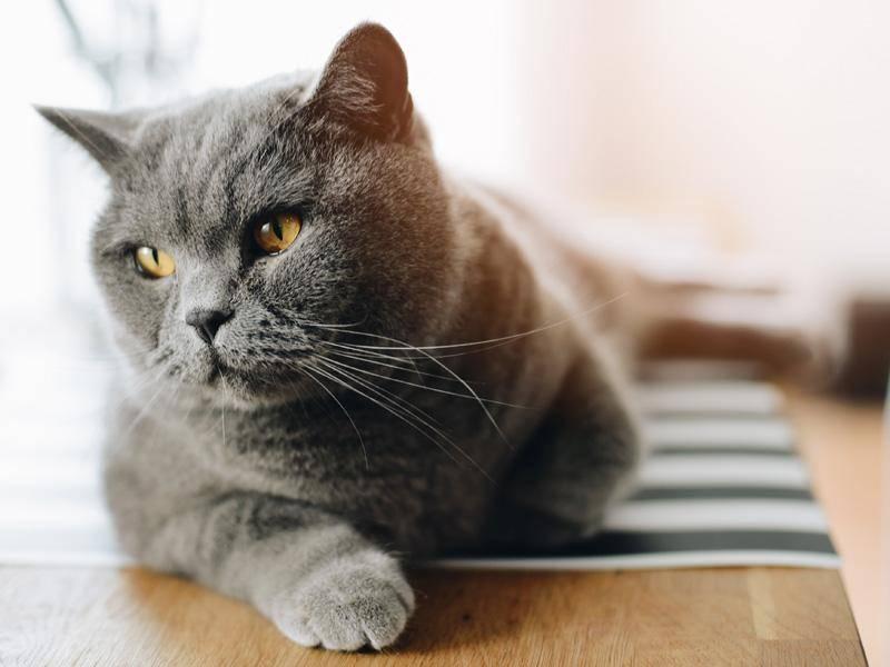 Katzen können es sich überall gemütlich machen. Auch auf dem Küchentisch — Bild: Shutterstock / plantic