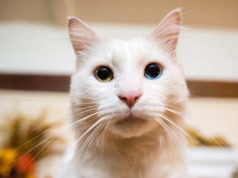 Ein faszinierender Anblick ist auch diese Katze mit einem grünen und einem blauen Auge - Bild: Shutterstock / Page Light Studios