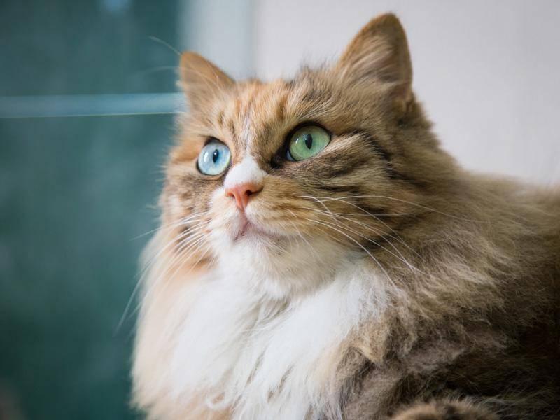 Sind blaue oder grüne Augen schöner? Egal, auch diese Katze hat beides — Bild: Shutterstock / HelloRF Zcool