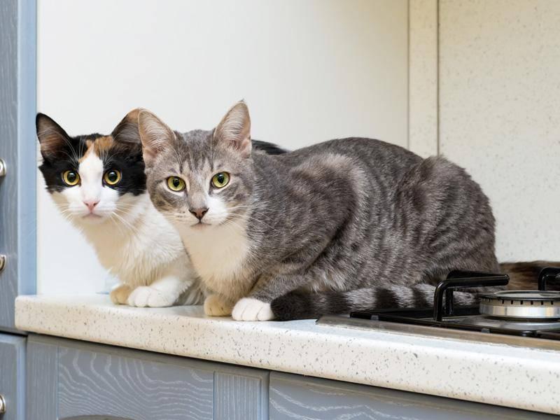 Katzenduo auf der Lauer: Auch zu zweit können es sich Samtpfoten in der Küche gemütlich machen — Bild: Shutterstock / Valerio Pardi