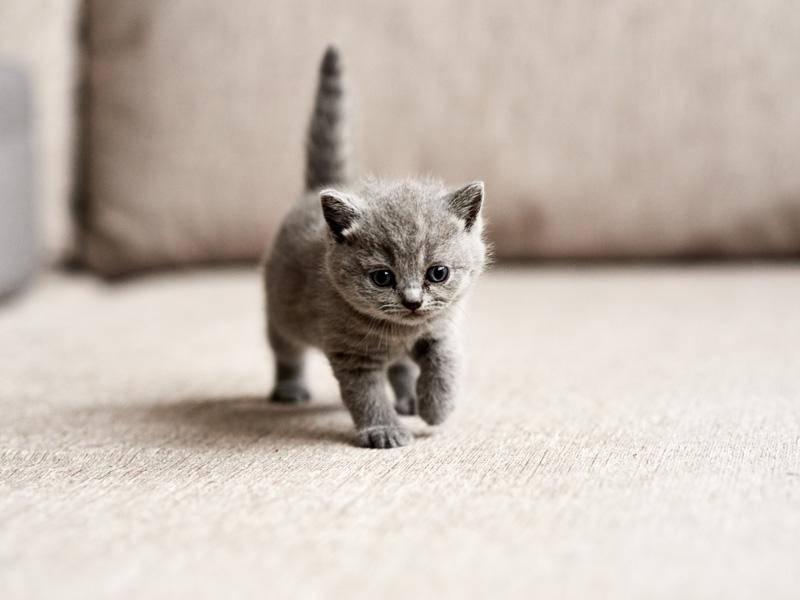 """Wenn ich mal groß bin ..."" Bezauberndes Mini-Katzenbaby — Bild: Shutterstock / Zhalabkovich Yauheniya"