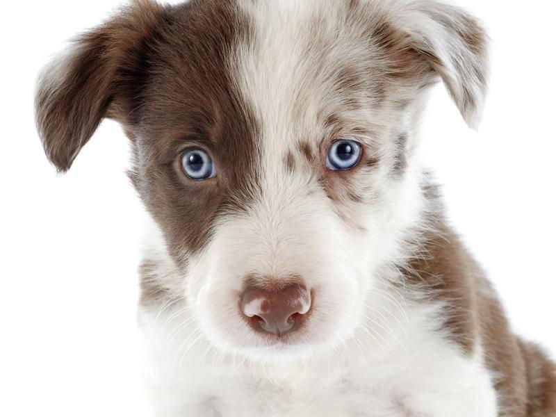 Wie kann man einem Hund mit solch blauen Augen etwas abschlagen? - Bild: Shutterstock / cynoclub