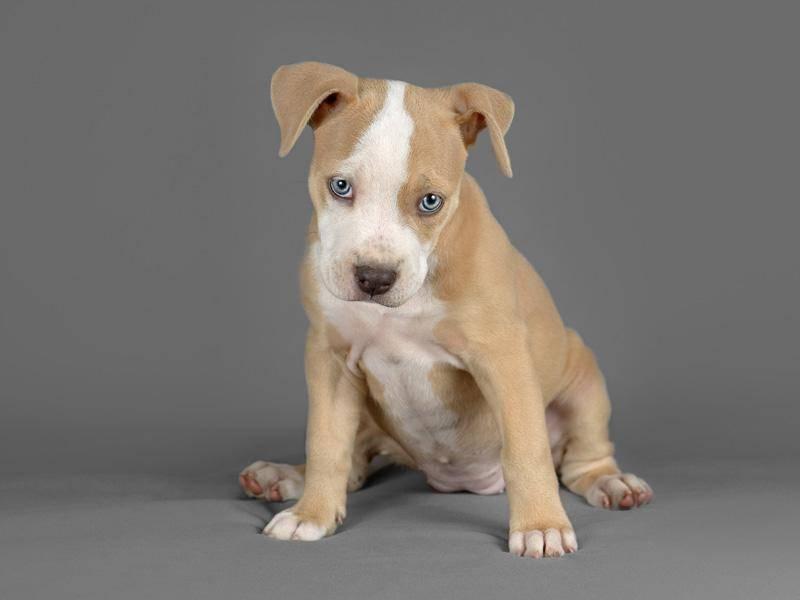 Toll und faszinierend: Ein kleiner Pitbull mit blauen Augen - Bild: Shutterstock / tsik