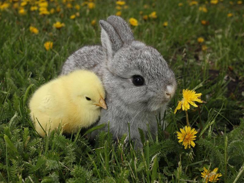 Nicht nur an Ostern ein Dreamteam: Liebevoll schmiegt sich das Küken an das Häschen – einfach nur süß! – Bild: Shutterstock / Richard Peterson