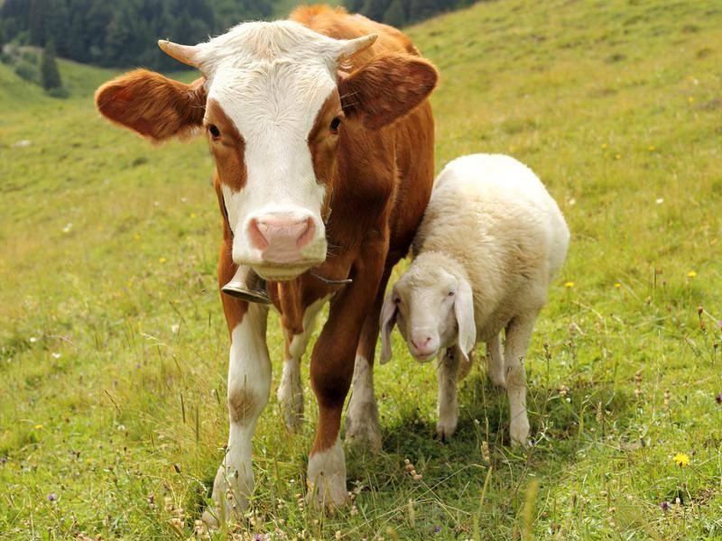 Auch diese Kuh und dieses Lamm sind tierisch beste Freunde – Bild: Shutterstock / rtbilder