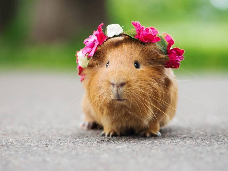 Meerschweinchen sehen süß aus, nicht nur mit Schmuck im Haar – Bild: Shutterstock / otsphoto