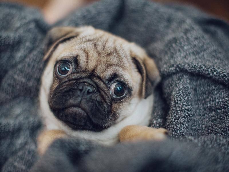 Dieser kleine Mops mag es ebenfalls am liebsten warm und flauschig – Bild: Shutterstock / wriemis