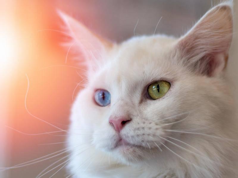 Sie dürfte kaum zu verwechseln sein: Katze mit verschiedenfarbigen Augen — Bild: Shutterstock / BlurryMe