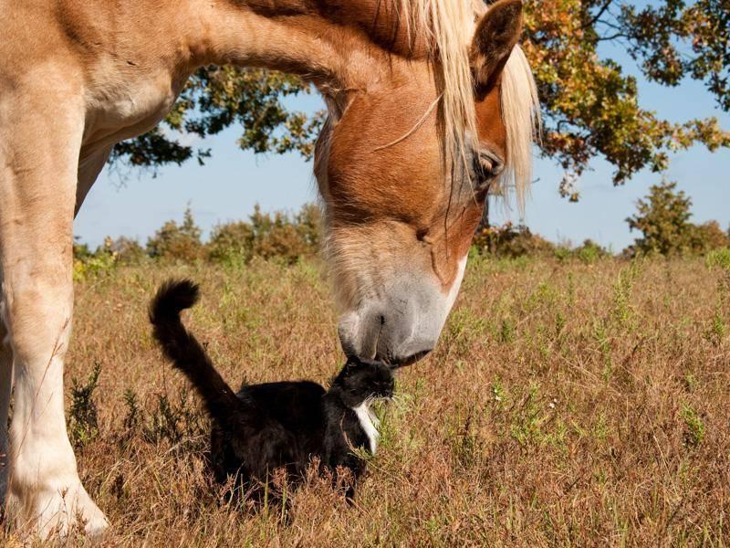 Pferde verstehen sich augenscheinlich aber nicht nur mit Hunden, sondern auch mit Katzen. Das beweist zumindest dieses ungleiche Paar - Bild: Sari ONeal / Shutterstock