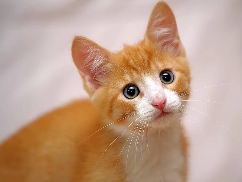 Knuffiger kleiner roter Kerl: Dieses Katzenbaby würde wohl jeder gerne mit nach Hause nehmen — Bild: Shutterstock / Evdoha_spb