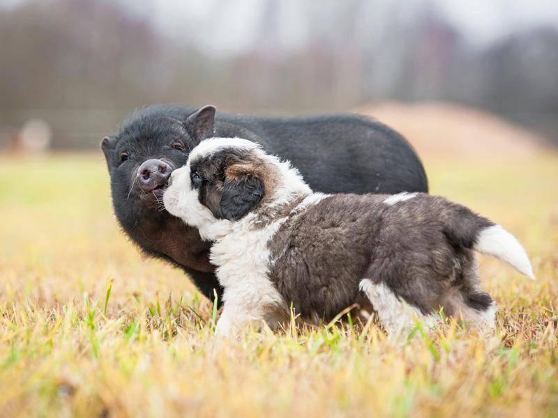 Das süße Schwein und der Hund genießen sichtlich ihre Zweisamkeit, einfach bezaubernd! – Bild: Shutterstock / Grigorita Ko
