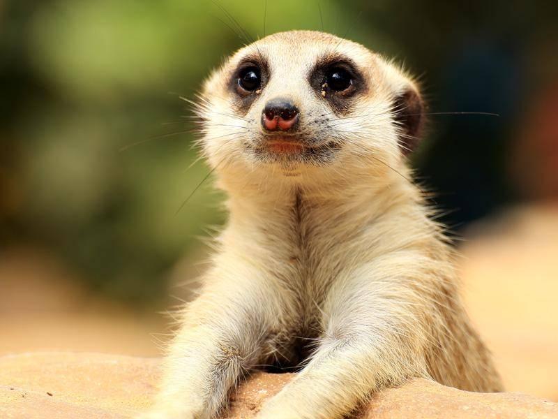 Was hat dieses neugierige Erdmännchen wohl in der Ferne entdeckt? – Bild: Shutterstock / kungverylucky