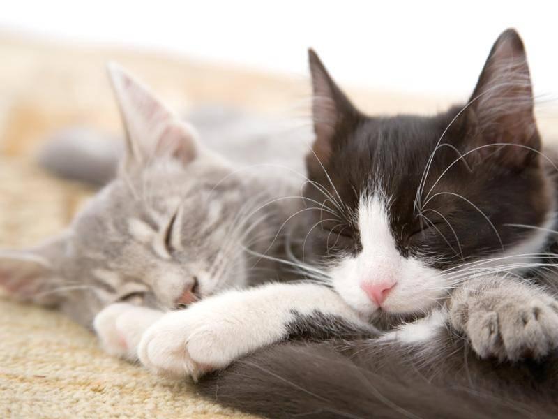 Beim Spielen eingeschlafen? Süß verträumtes Katzenduo — Bild: Shutterstock / Ferenc Szelepcsenyi