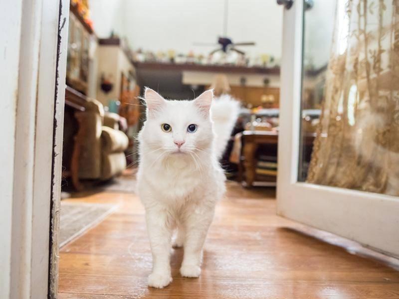 Katzen mit verschiedenfarbigen Augen sind schon etwas ganz Besonderes — Bild: Shutterstock / Page Light Studios
