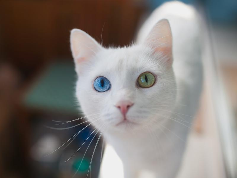 Flauschiger kleiner Held mit zwei verschiedenen Augen — Bild: Shutterstock / polinabelphoto