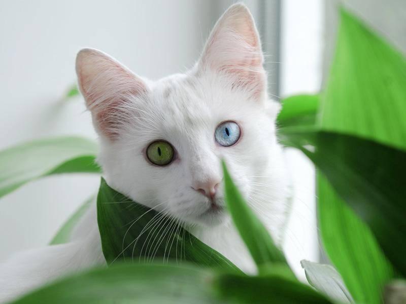 Schöne Katze: Auch mit verschiedenfarbigen Augen kann man frech über die Zimmerpflanzen schauen — Bild: Shutterstock / Flower_Power