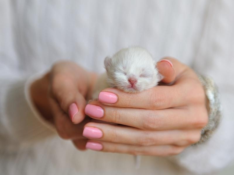 So klitzeklein! Diese weiße Samtpfote fühlt sich richtig wohl in der Hand. - Bild: Shutterstock/Nata789
