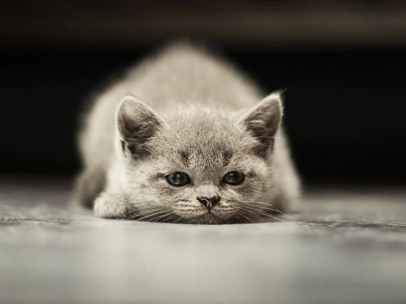 Ganz neu auf der Welt, diese kleine graue Katze. Herzlich willkommen! — Bild: shutterstock / Belovodchenko Anton