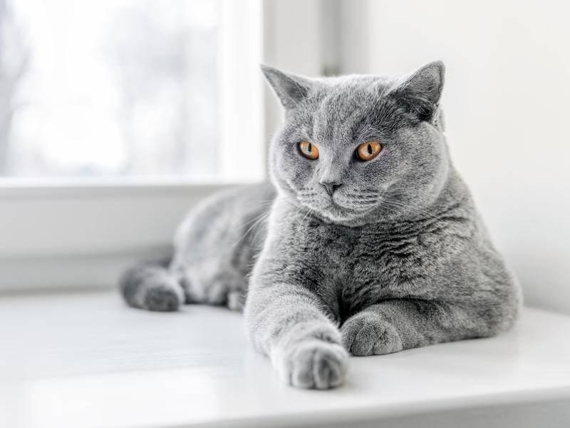 Flauschig, neugierig, schön: Toll, diese graue Katze — Bild: shutterstock / PHOTOCREO Michal Bednarek