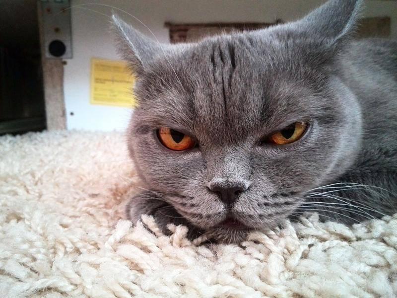 Graue Katze, ganz nah: Schön, oder? — Bild: shutterstock / maks1mpm
