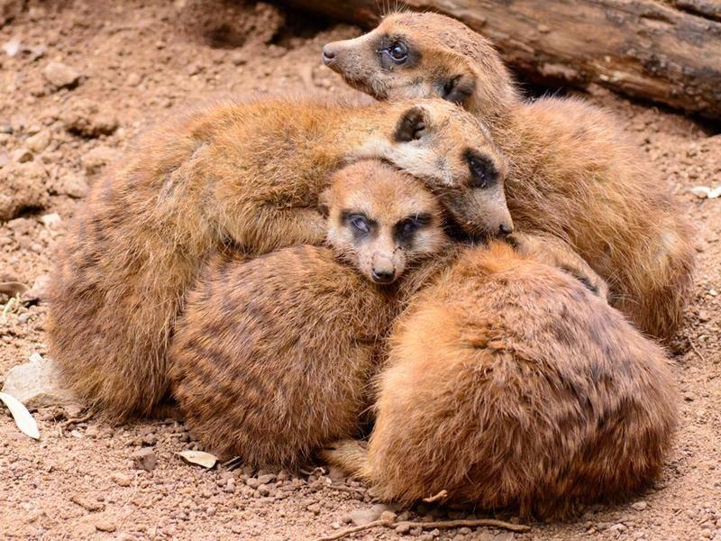 So kuschelt die Erdmännchenfamilie - Bild: shutterstock / Olaf Holland