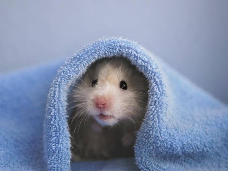 hamster-unter-handtuch-shutterstock-tanya_morozz