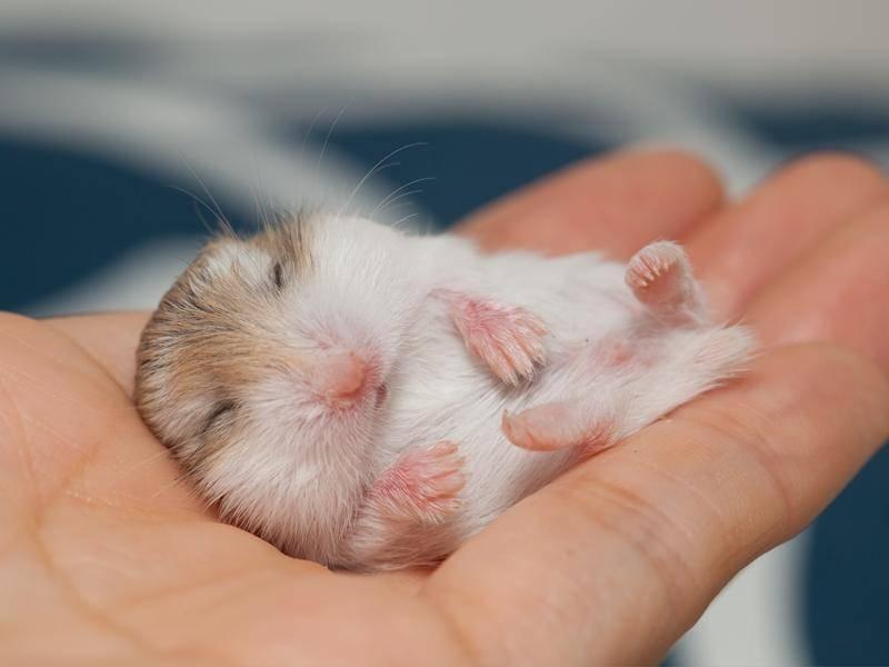 Bezaubernder Hamster macht ein kleines Schläfchen — Bild: Shutterstock / colacat