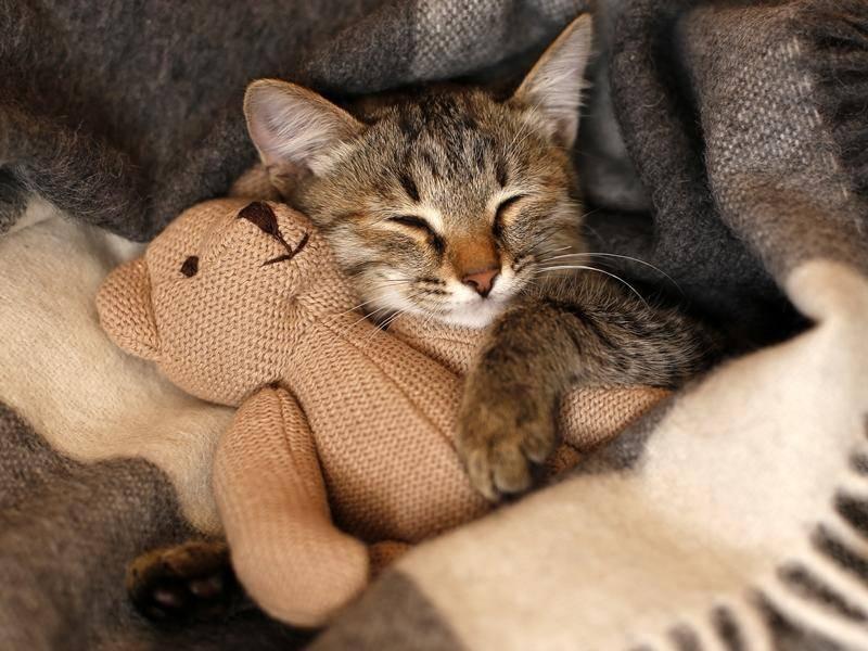 Diese süße Katze möchte nicht gern allein schlafen - Bild: Shutterstock / Lario