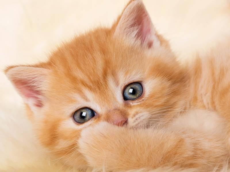 Kuschelzeit bei einem rot-weißen Katzenbaby. Süß, die kleine Miez, oder? – Bild: shutterstock / Dora Zet
