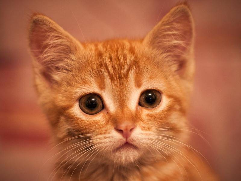 Dieser Blick ... Flauschiges rotes Katzenbaby zum Verlieben – Bild: shutterstock / mirate