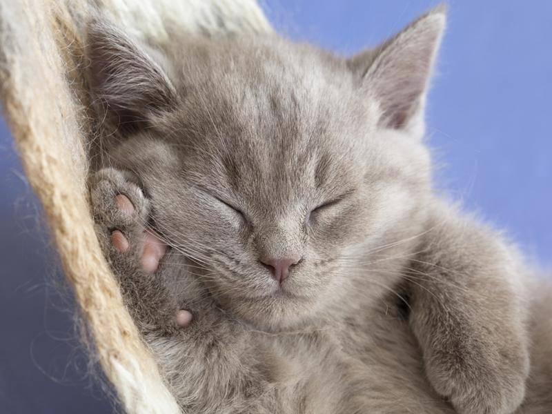 Fluffig! Diese graue Katze ist bestimmt gaaanz weich — Bild: shutterstock / Liliya Kulianionak