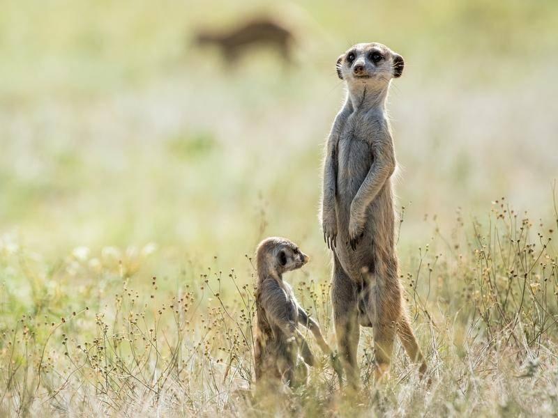Wenn sie so stehen, haben Erdmännchen etwas fast Menschliches. – Bild: shutterstock / Mauvries