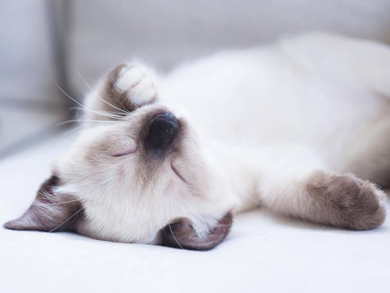 So flauschig, dieses knuffige Katzenbaby - Bild: Shutterstock / ayapuengnoom