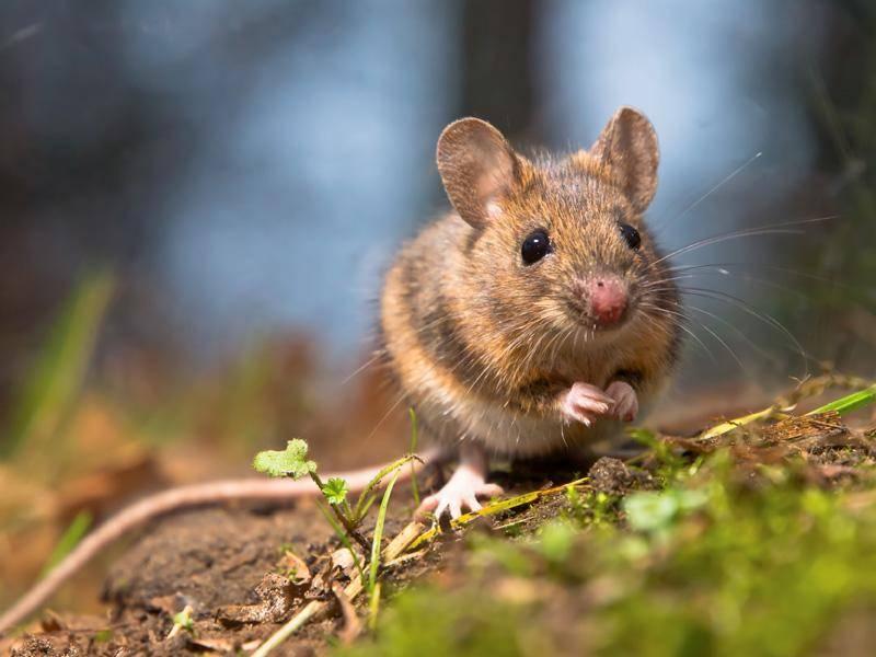 Was für eine kleine, süße Wildmaus! - Bild: Shutterstock / Rudmer Zwerver