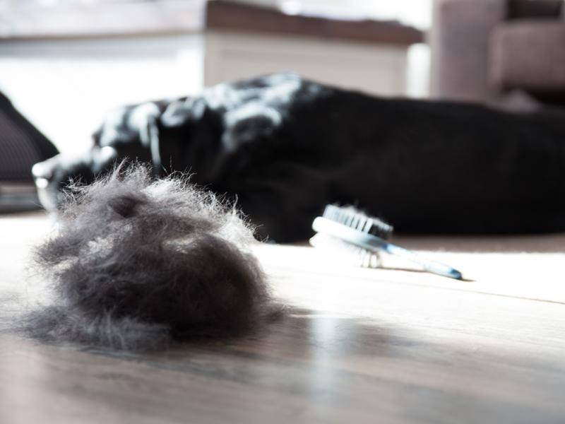 Frauchen hat Paco nach dem Aufwachen erst einmal das Fell gebürtstet - Bild: Oskari Porkka/Shutterstock