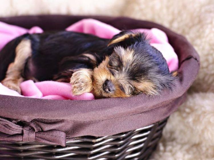 Junger Hund schläft im Körbchen