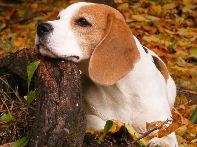 Beagle Hund auf der Wiese