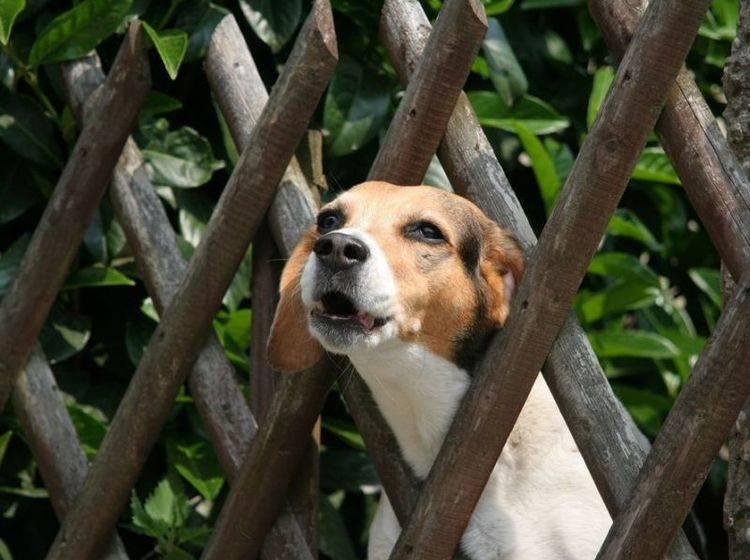 Beagle Hund bellta m Zaun
