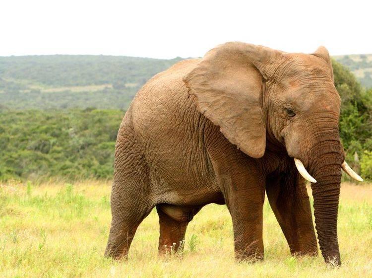 Elefant auf der Wiese